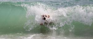 surf dog-708376_1920